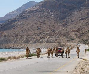 Culture & Nature - Camels in Hasik