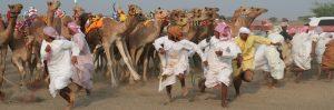 Culture & Nature - Camel Race Start Saham